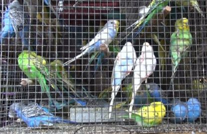 The unlikely saviour of Budgerigars